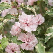 sugar_tip_hibiscus-8188.jpg