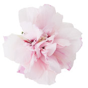 sugar_tip_hibiscus.jpg