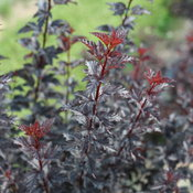Summer Wine® Black - Ninebark - Physocarpus opulifolius