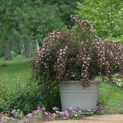 Summer Wine Physocarpus (Ninebark)