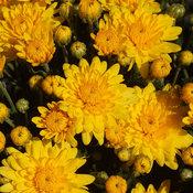 Sundance Yellow Garden Mum - Chrysanthemum grandiflorum
