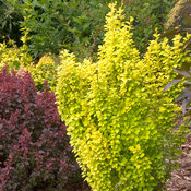 sunjoy_gold_pillar_berberis-1.jpg