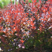 sunjoy_mini_maroon_seedless_barberry_1.jpg