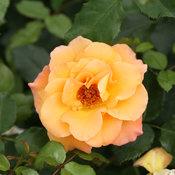 sunorita_rose_proven_winners_2.jpg