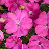 sunpatiens_compact_neon_pink.jpg