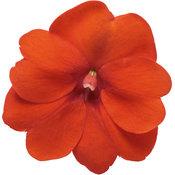 sunpatiens_compact_orange_macro-04.jpg