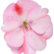 sunpatiens_compact_pink_candy_macro-02.jpg
