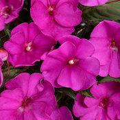 sunpatiens_compact_purple.jpg