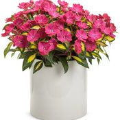 sunpatiens_compact_tropical_rose.jpg