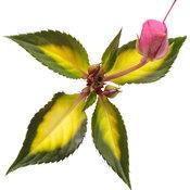 sunpatiens_compact_tropical_rose_macro-06.jpg