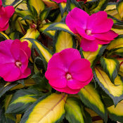 SunPatiens® Compact Tropical Rose - Impatiens x hybrida