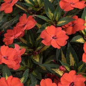 SunPatiens® Vigorous Tropical Orange - Impatiens x hybrida