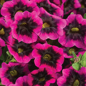 Superbells® Blackcurrant Punch™ - Calibrachoa hybrid