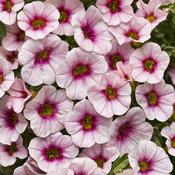 superbells_cherry_blossom.jpg