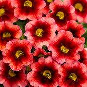 Superbells® Coralberry Punch™ - Calibrachoa hybrid