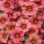 Superbells® Coralina - Calibrachoa hybrid