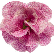 superbells_double_orchid_01.jpg
