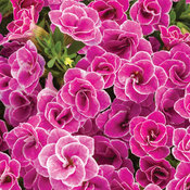 Superbells® Doublette Love Swept™ - Double Calibrachoa - Calibrachoa hybrid