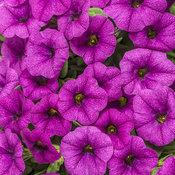 Superbells® Garden Rose