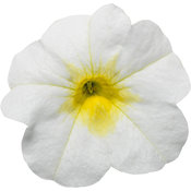 Superbells® Over Easy Imp™ - Calibrachoa
