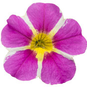 Superbells® Rising Star™ - Calibrachoa