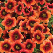 Superbells® Tangerine Punch