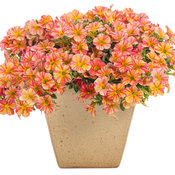 Superbells® Tropical Sunrise - Calibrachoa