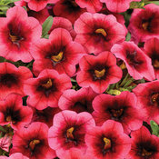 Superbells® Watermelon Punch™ - Calibrachoa hybrid