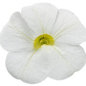 Superbells® White Imp - Calibrachoa