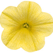 superbells_yellow_improved_02.jpg
