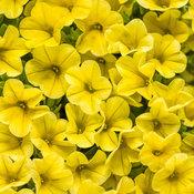 superbells_yellow_improved_tag.jpg