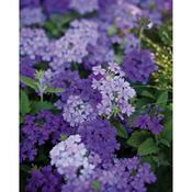 superbena lilac blue 04.jpg