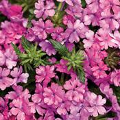 superbena pink shades b.jpg