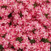 Superbena Royale® Cherryburst - Verbena hybrid