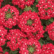 Superbena® Scarlet Star - Verbena hybrid