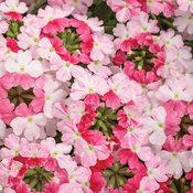 superbena_sparkling_rose.jpg