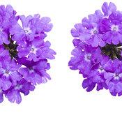 superbena_violet_ice-2.jpg