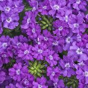 superbena_violet_ice.jpg