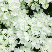 Superbena® Whiteout™ - Verbena hybrid
