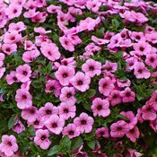supertunia-flamingo-petunia-hybrid6.jpg