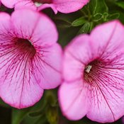 supertunia-flamingo-petunia-hybrid7.jpg