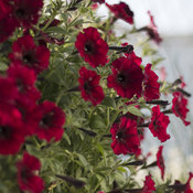 supertunia_black_cherry_23.jpg