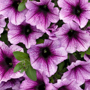 supertunia_bordeaux_tag_1.jpg
