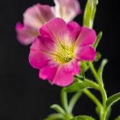 Supertunia® Daybreak Charm - Petunia