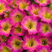 Supertunia® Daybreak Charm - Petunia hybrid