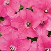 supertunia giant pink.jpg
