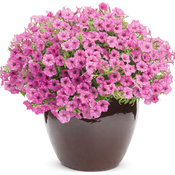 Supertunia® Hot Pink Charm - Petunia