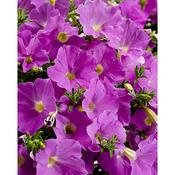 supertunia lavender skies 3.jpg