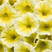Supertunia® Limoncello