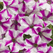 Supertunia® Lovie Dovie™ - Petunia hybrid